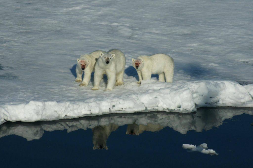 Antarctica polar bear